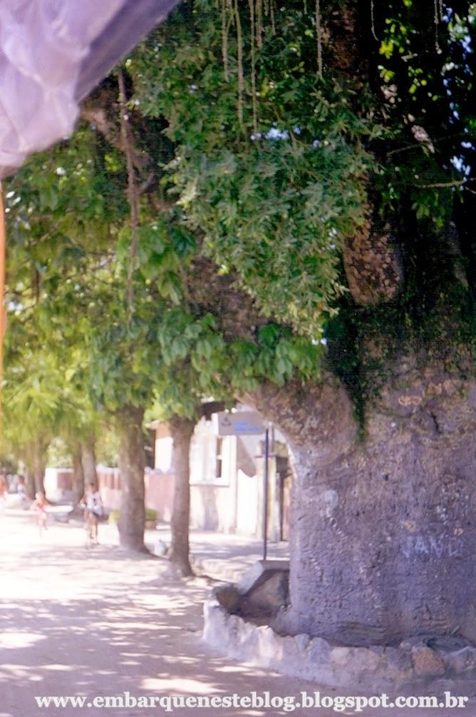 Árvore Maria Gorda em Paquetá