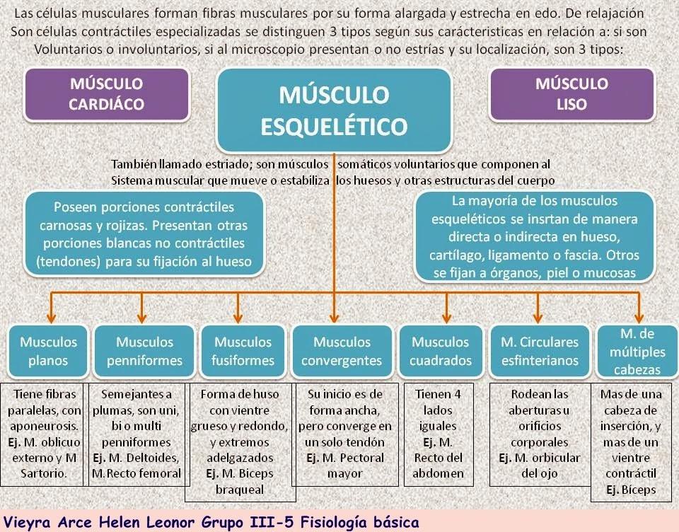 Fisiología Básica: Músculo esquelético.