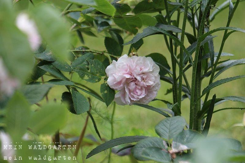 mein waldgarten rosen verpflanzt. Black Bedroom Furniture Sets. Home Design Ideas