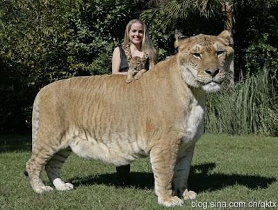 Hercules, kucing terbesar di dunia menurut Guiness World Record