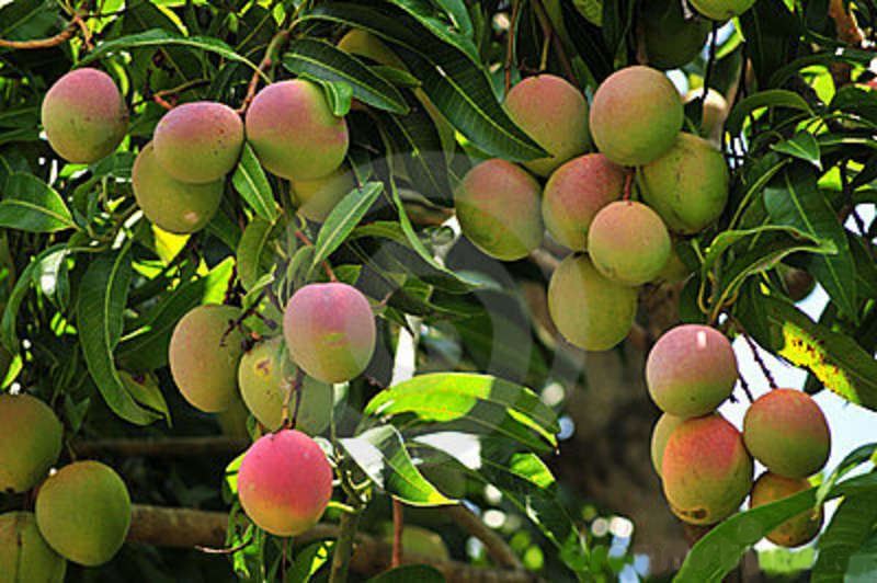 "Wallpaper: Mango ""Gift of Nature"""