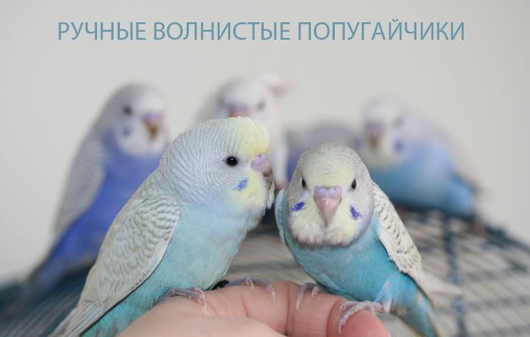 Ручные домашние птенцы волнистого попугая