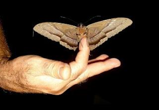 Várias espécies de mariposa poderão deixar de existir. No total, acredita-se que 200 tipos desse inseto correm perigo sério de extinção, seja pela devastação de seu habitat natural ou pela presença de predadores exóticos.