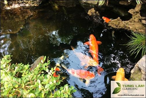 Cá Koi của TungLam Garden, thi công hồ cá Koi