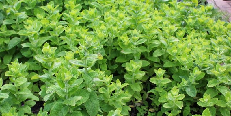 Mentha rotundifolia, æblemynte