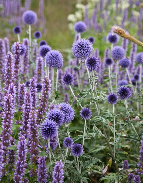 http://www.crocus.co.uk/plants/_/echinops-ritro-veitchs-blue/classid.2730/