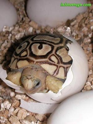 Stigmochelys pardalis - Tortuga leopardo