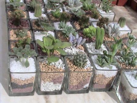 Cactus de marcela recuerdos vivos con cactus y suculentas for Cactus santiago