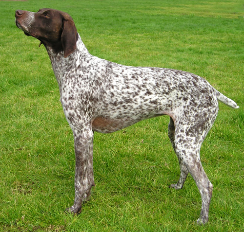 dogs: German Shorthaired Pointer dog