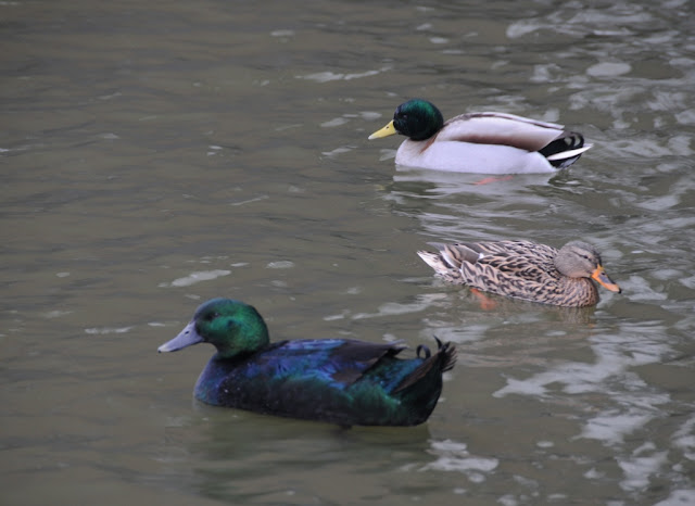 Ducks in Zoetermeer