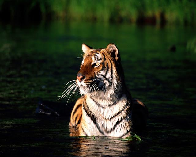 tiger animal