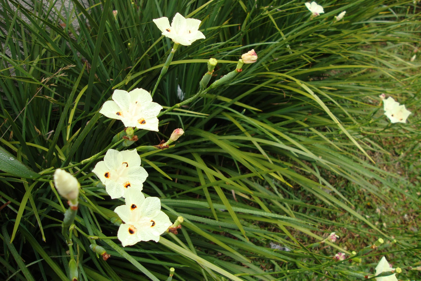 Fênix Plantas e Jardins Moréia; Muito versátil!