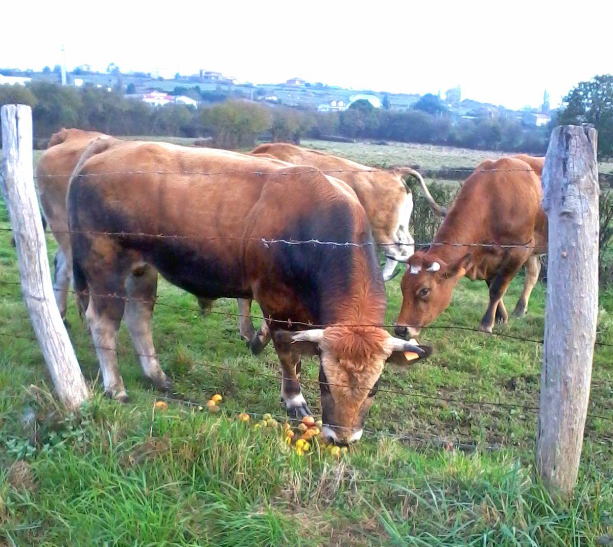 vacas Asturias naturaleza sendero