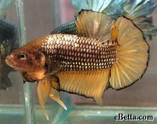 gold beta fish