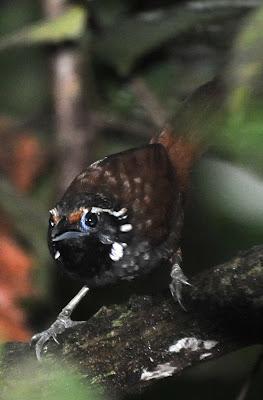 White-necked Babbler (Stachyris leucotis)