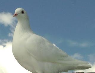 paloma mensajera