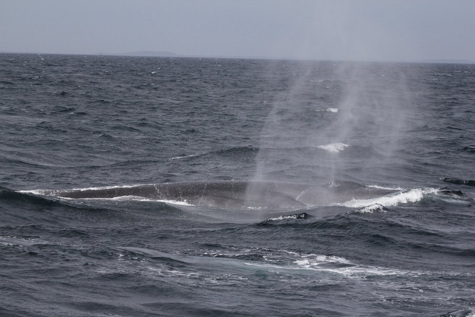 the extinction of fin whale essay In the era of industrial whaling a commonly hunted whale was the fin the minke whale is being hunted into extinction and they are to whaling essay.