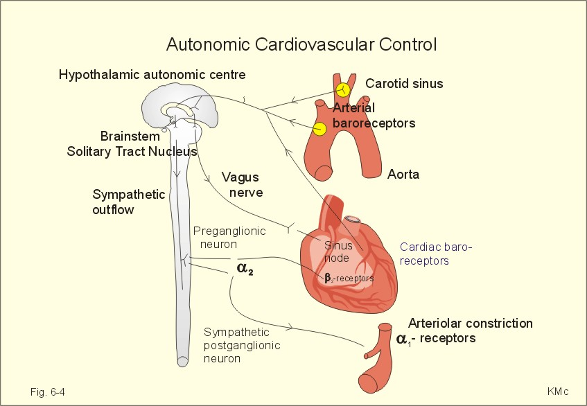 how do the sympathetic and parasympathetic nervous systems work together to regulate heart rate Work to regulate heart rate well the sympathetic and parasympathetic systems in what way do the parasympathetic and sympathetic nervous systems work together.