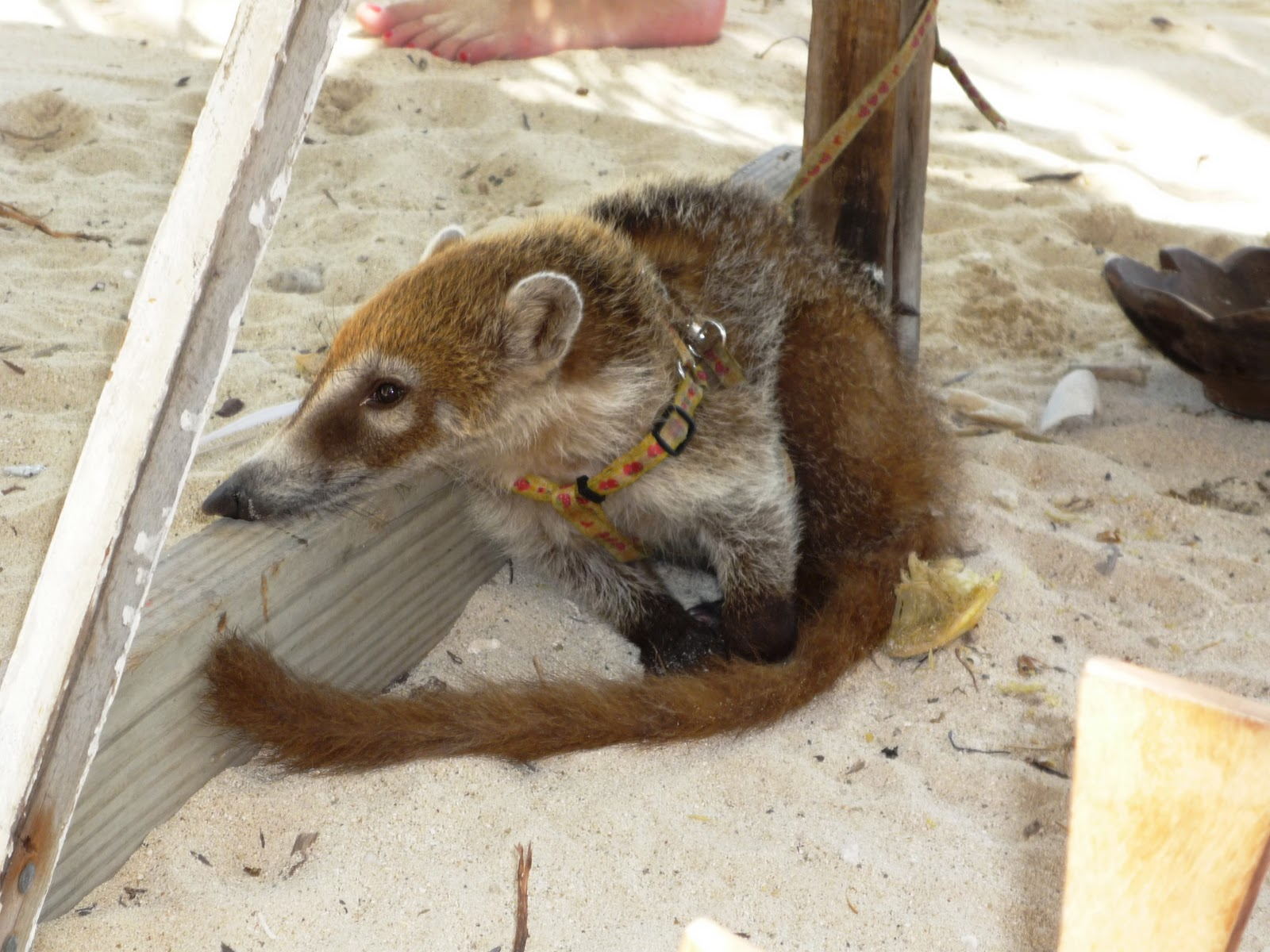 Allgood Travels: It's Halftime in Belize... Raccoons As Pets