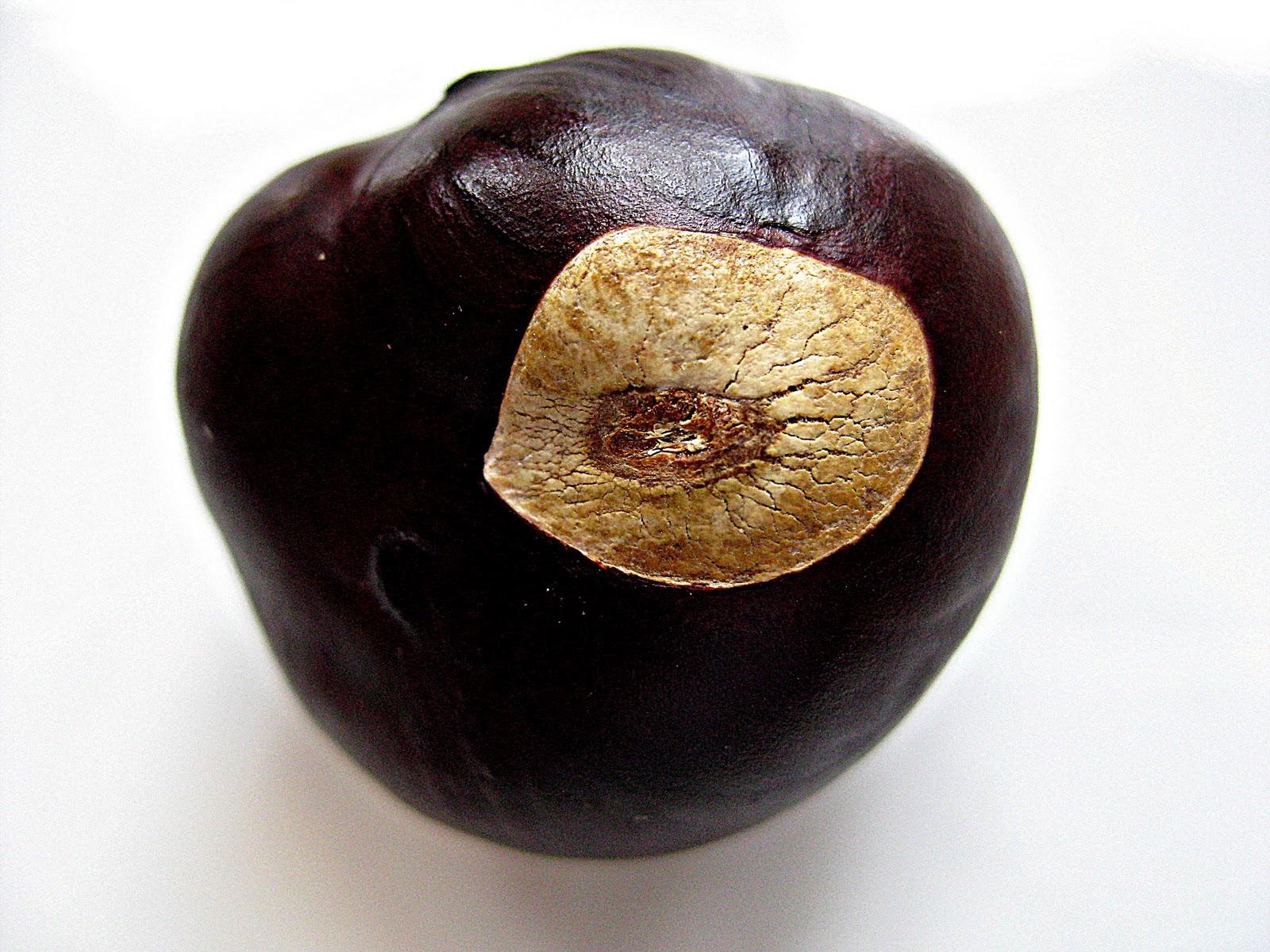 how to grow a buckeye tree from a nut