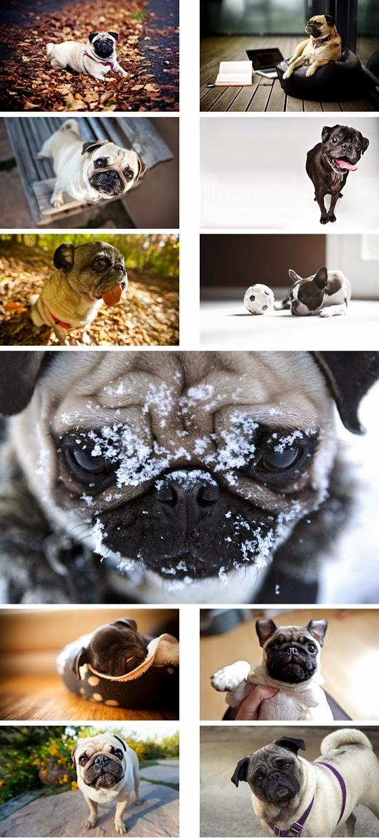 Pug Dog Theme For Windows 7 And 8 8.1 9