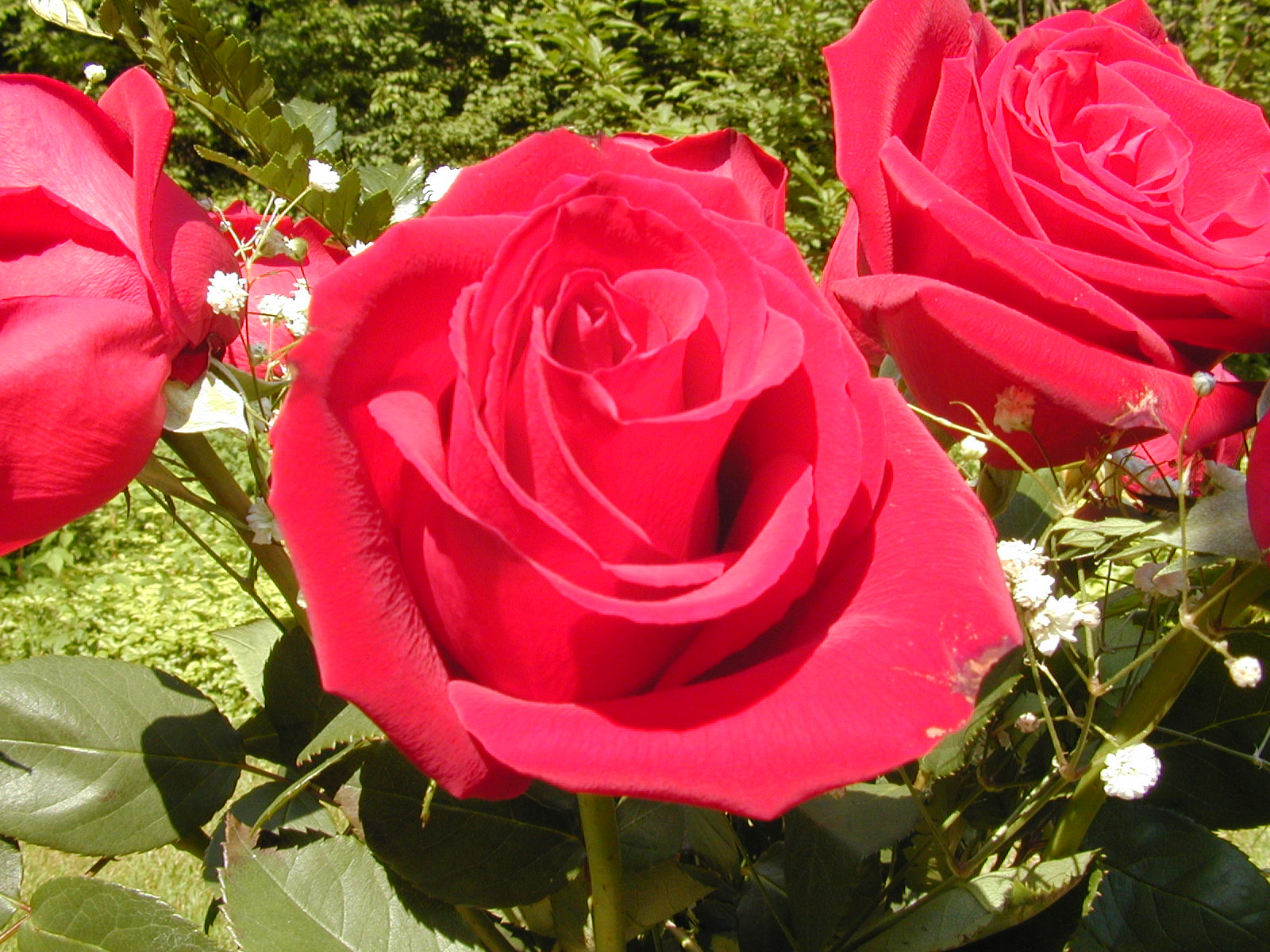 Flowers & Planets: red rose flowers photos