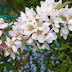 Apple Blossom white Flowers hd images