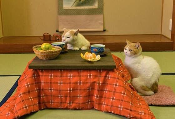 foto kucing lucu bernama Nyalan dan Deshi 04