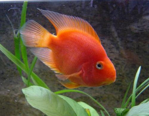 acuarios de agua dulce red parrot pez loro