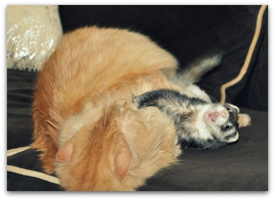 ferret and cat playing wrestling