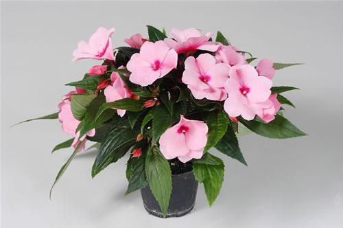 Ilclanmariapia guinea for I fiori della balsamina