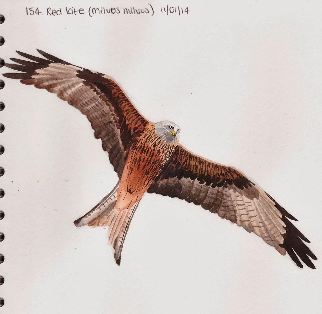 Learn.Draw.BIRD. 154. Red Kite (Milvus Milvus)