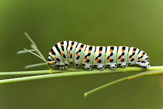 Para ampliar Papilio machaon (Macaón) hacer clic