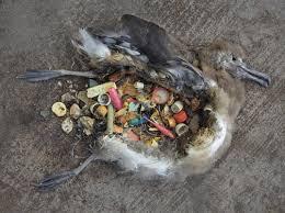 Bideo: Albatros muertos por el plástico