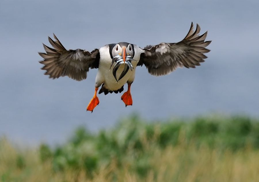 Puffin with Small Fish