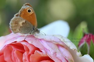 papillon sur une rose macro