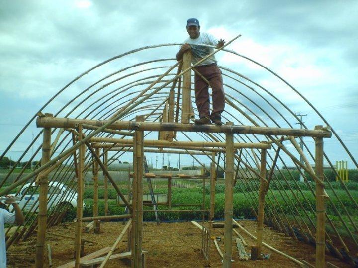 Painel sustent vel estufa de bambu para hortali as - Como se planta el bambu ...