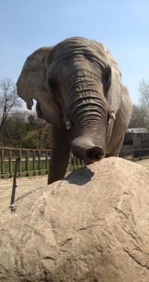 Iringa, female African Bush elephant at the Toronto Zoo