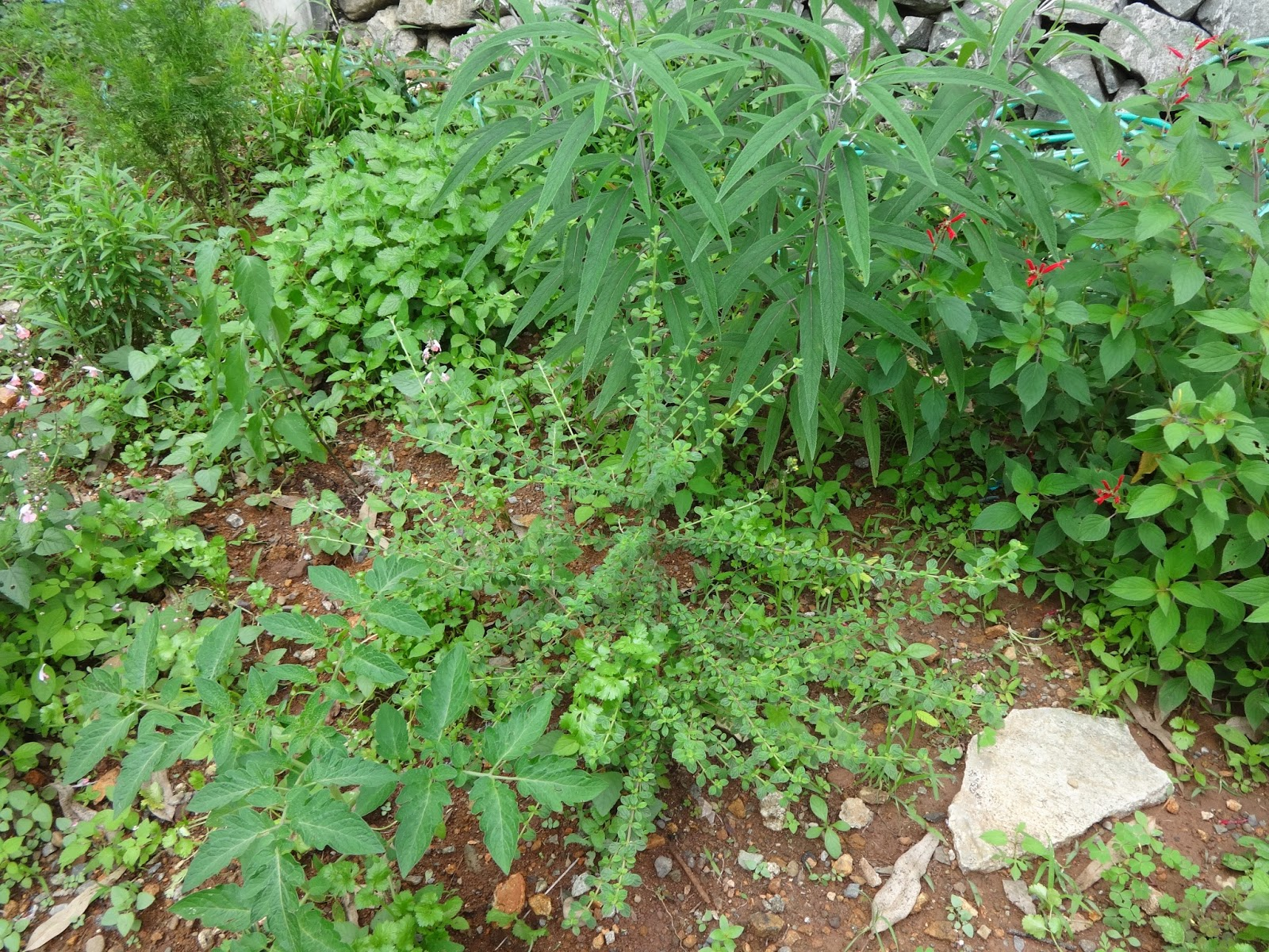 Herbs From Distant Lands Lippia Micromera Jamaican