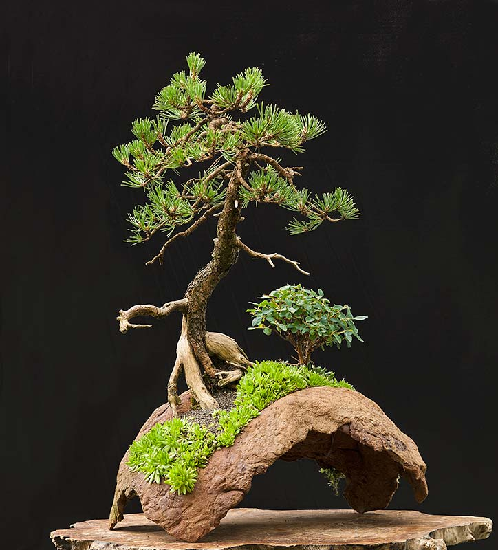 walter pall bonsai adventures mugo pine 12. Black Bedroom Furniture Sets. Home Design Ideas
