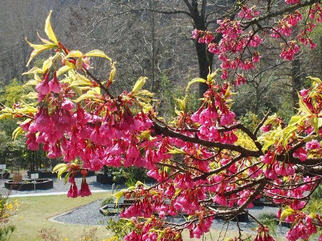 沖縄の桜。