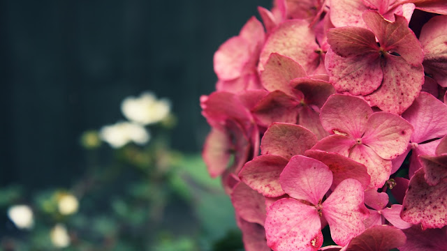 Pink Hydrangea HD Wallpaper
