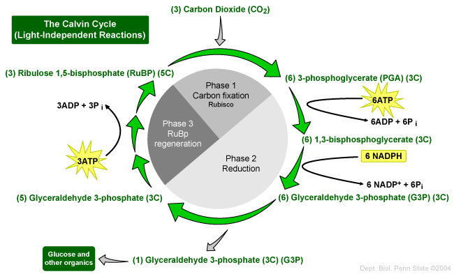 an analysis of the products of light dependent reactions and the calvin cycle What is photosynthesis, and how does it  dependent reactions and the calvin cycle light dependent reactions  the products of the light.