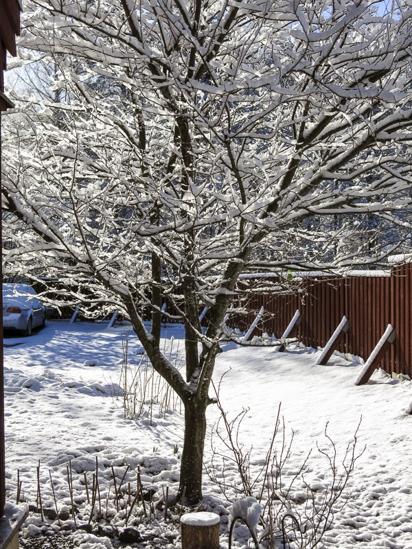 snö, mirabelleträd