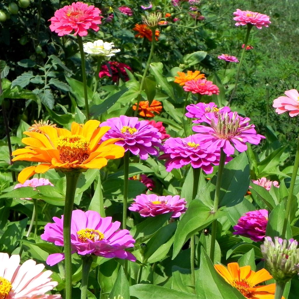 Flower Garden: Power Of The Flower: Zinnias