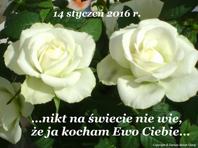 Jeśli kochasz, daj różę. Miłosne znaczenie róż fot Dariusz Marek Gierej