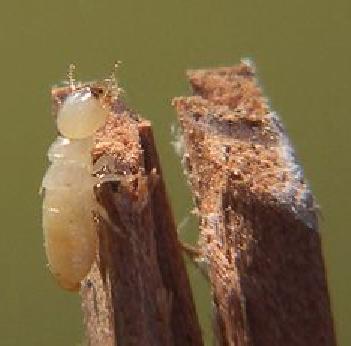 Muebles domoticos plagas que atacan y da an las maderas for Tratamiento carcoma muebles