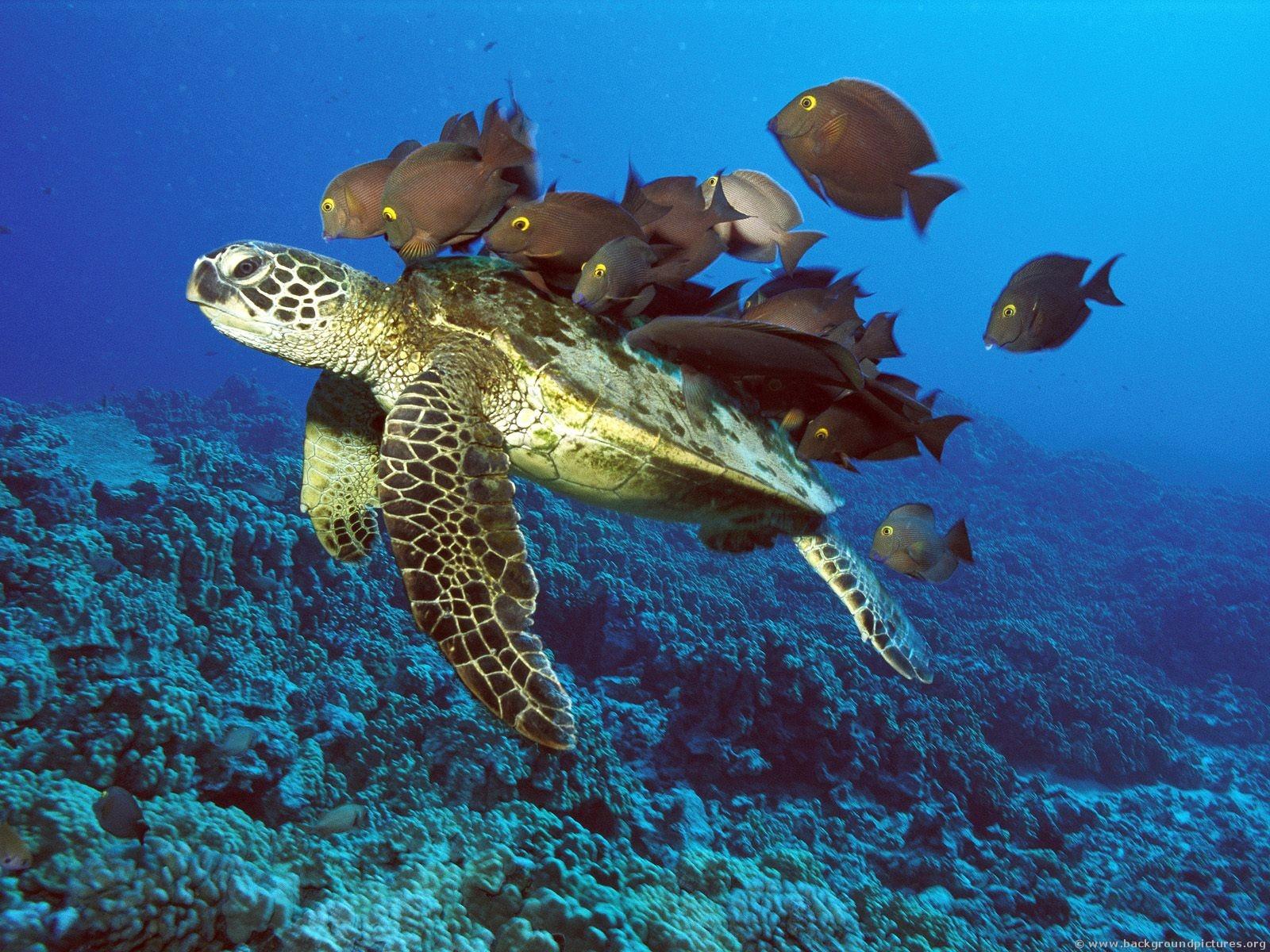 +Green+sea+turtle+migration+habitat+green+turtleblack+sea+turtle ...