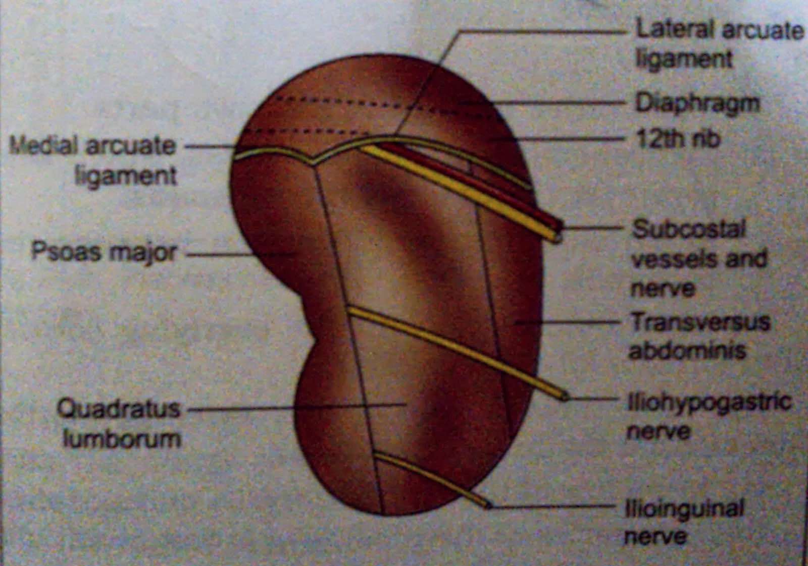 Kidney | Anatomy | Mbbs 1st year