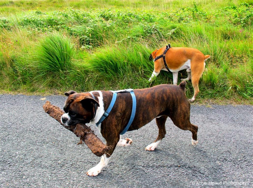walking boxers